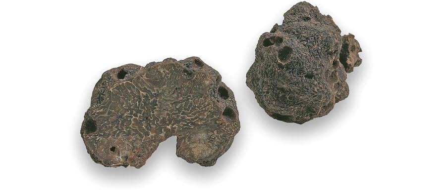Tuber melanosporum Vitt