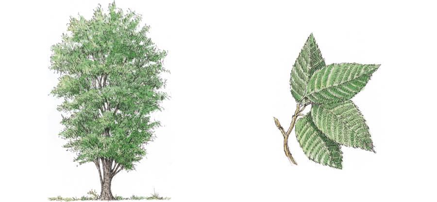 carpino nero