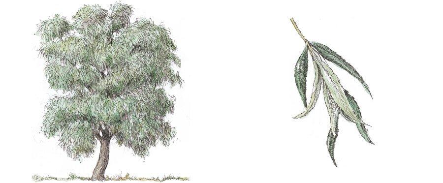 salice bianco